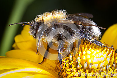 Bumblebee on the flower