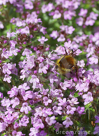 Free Bumblebee Gathering Pollen From Spring Thyme Stock Photo - 5472530