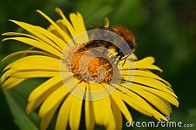 Bumblebee and his proboscis