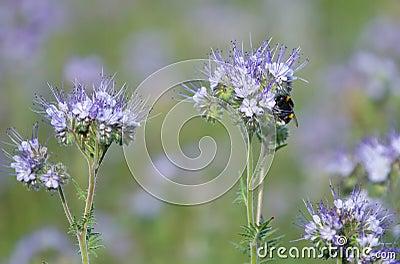 Bumblebee i phacelia kwiaty