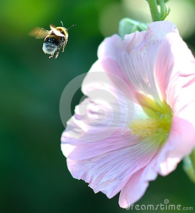 Free Bumblebee In Flight Stock Photography - 28096092