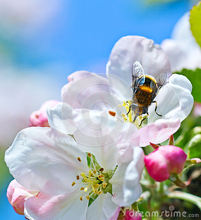 Free Bumblebee On A Flower Royalty Free Stock Photos - 26181648