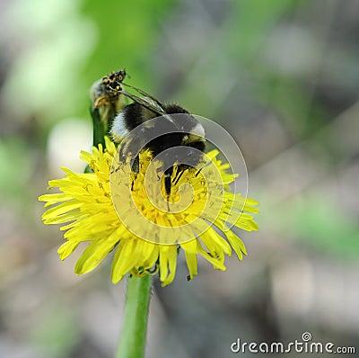 Free Bumblebee On Dandelion Royalty Free Stock Photography - 25510057