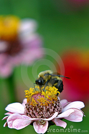 Free Bumblebee On Zinnia Stock Image - 18941