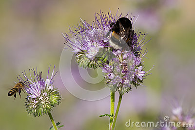 Bumblebee and phacelia flower