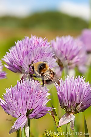 Bumblebee on a purple Flower 1