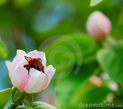 Bumblebee on quince flower