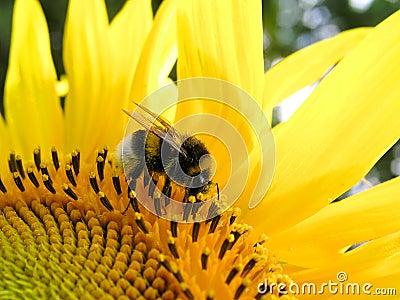 Bumblebee słonecznik