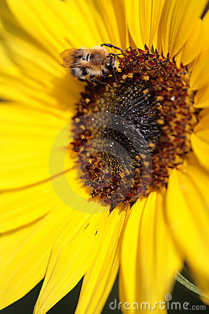 Bumblebee on a sunflower.