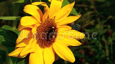 Bumblebee on Sunflower. Bumblebee on organic sunflower serving as natural manure in wholistic and eco-friendly farming and gardening stock video footage