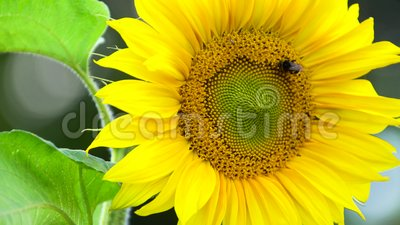 Bumblebee on sunflower. At sunny day stock video