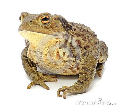 Bumpy Toad Close-up