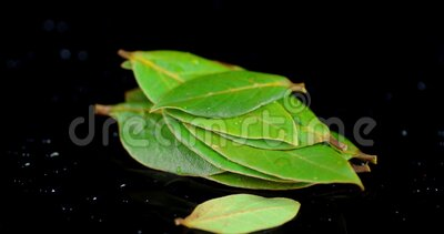 A bunch of Bay leaves rotates slowly. On a black background stock video footage