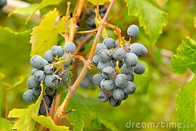 Bunch of black grapes.