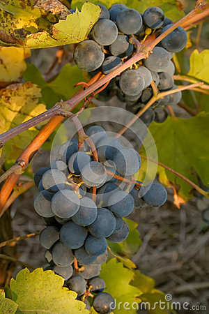 Bunch of black ripe wine grapes on the vine