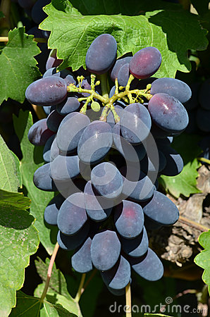 Bunch of blue grapes closeup
