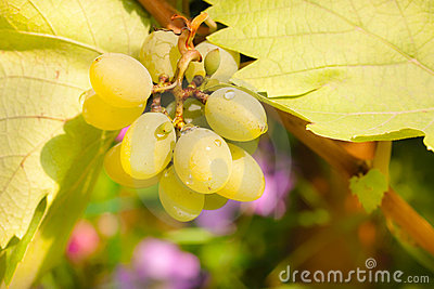 Bunch of chardonnay grapes