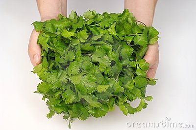 Bunch of cilantro