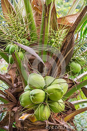 Bunch of coconut