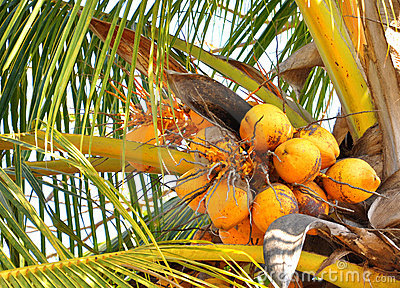 Bunch of coconuts on the tree