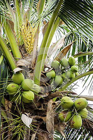 Bunch of coconuts