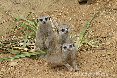 bunch of curious meerkat