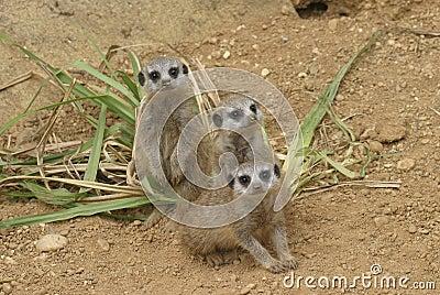 bunch of curious meerkat