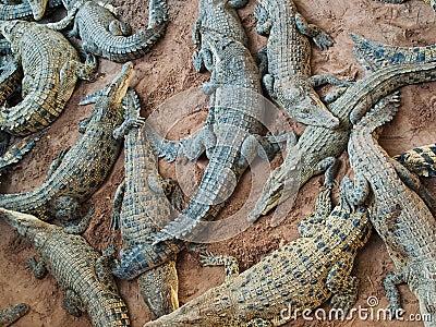 Bunch of dangerous crocodiles
