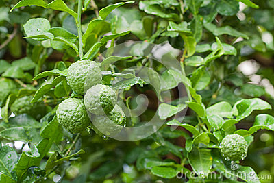 Bunch of Fresh Kaffir Lime with water drop