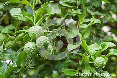 Bunch of Fresh Kaffir Lime with water drop