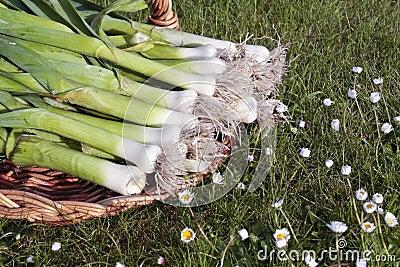 Bunch of fresh leeks produce
