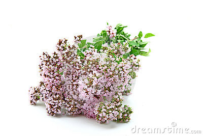Bunch of fresh oregano
