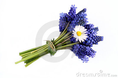 Bunch of grape hyacinths