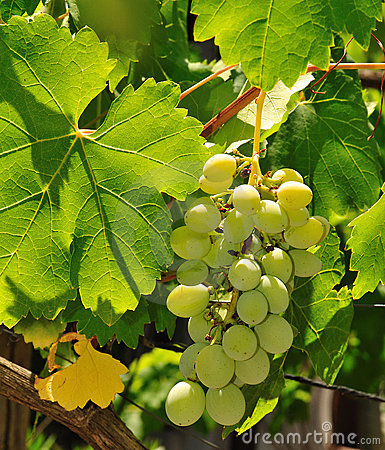 Bunch of grapes 2