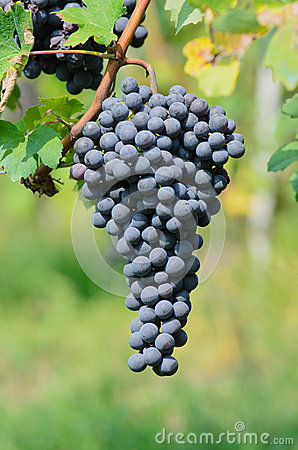 Bunch of grapes for Barolo