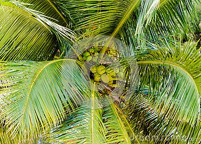 Bunch of green coconuts in palm tree