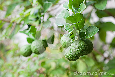 Bunch of Kaffir Lime on bergamot tree