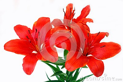 Bunch of lily isolated on white