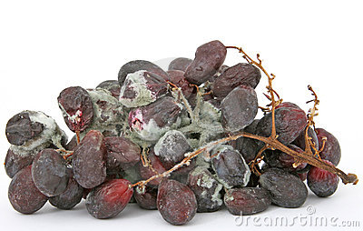 Bunch of mouldy red grapes