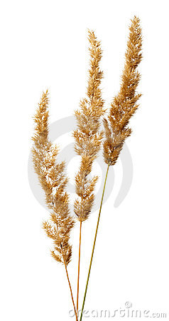 Free Bunch Of Bush Grass Panicles Royalty Free Stock Photography - 19797877