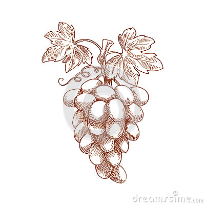 Free Bunch Of Grape Fruit On Grapevine, Sketch Stock Photography - 65271002