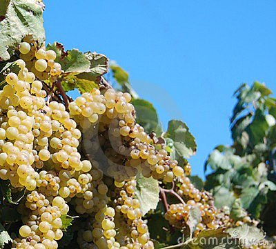 Free Bunch Of Grapes Royalty Free Stock Images - 3281209