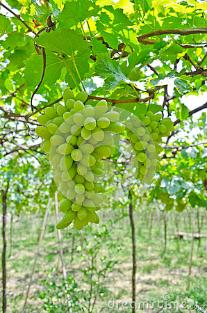 Free Bunch Of Green Grape Fruit Royalty Free Stock Photos - 32860078