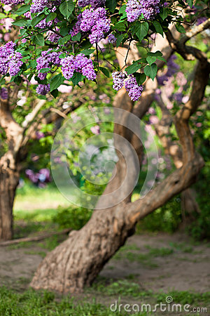 Free Bunch Of Violet Lilac Flower Stock Photo - 25553080