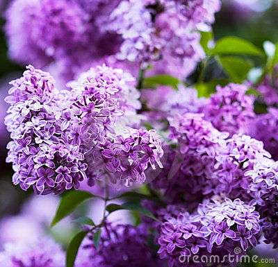 Free Bunch Of Violet Lilac Flower Stock Photo - 5220270