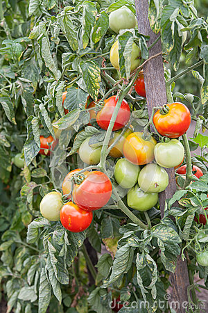 Bunch of organic tomatoes in the garden