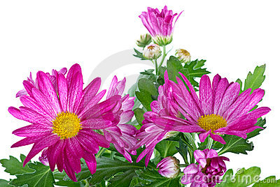 Bunch of pink wild chrysanthemum