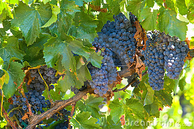 A bunch of red grapes on the vine