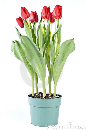 Bunch of Red Tulips in a Pot