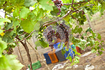 Bunch of ripe Grapes in vineyard